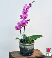 The BF Double Phalaenopsis Orchid Planter