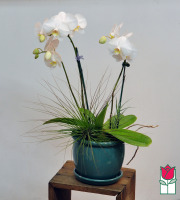 beretania florist phalaenopsis orchid planter double honolulu flower delivery honolulu orchid delivery hawaii orchids