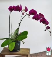 beretania florist premium orchid plant delivery honolulu phalaenopsis