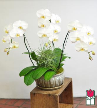 3 Spray Phalaenopsis Orchid Ceramic Planter - White