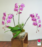 3 Spray Phalaenopsis Orchid Ceramic Planter - multi color purple