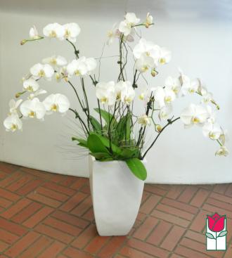 10 Spray Phalaenopsis Orchid Planter - White