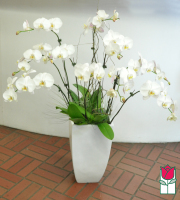10 Spray Phalaenopsis Orchid Planter - White