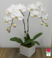 Double Premium Phalaenopsis Orchid Planter - White