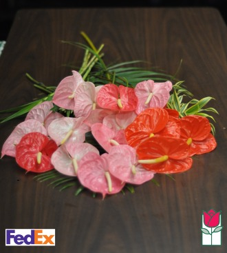 24 Medium Anthurium - [ship to mainland]