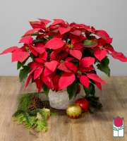 [SOLD OUT] Beretania's Large Red Poinsettia in Basket