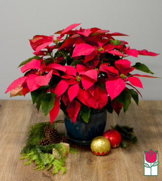 <b>[SOLD OUT]</b> Beretania\'s Large Red Poinsettia in Ceramic