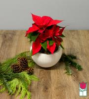 Beretania's Mini Red Poinsettia in ceramic