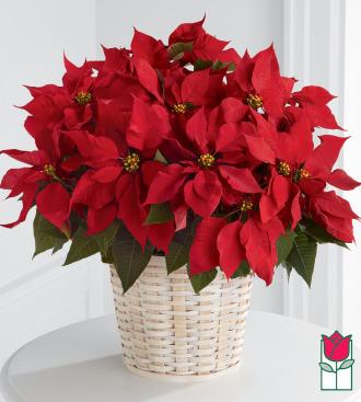 Beretania\'s Premium Red Poinsettia Basket (Extra Large)