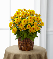 The FTD� Chrysanthemum