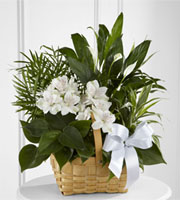 A collection of incredibly beautiful plants accented by stems of white Peruvian lilies. The presentation arrives in a natural woodchip rectangular basket accented with a white satin ribbon