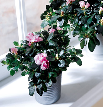 The FTD® Azalea (Small)
