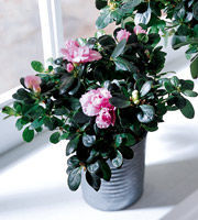 The FTD� Azalea (Small)