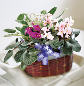 Order African Violets and other gift ideas for same day delivery for sympathy, get well, birthday, anniversary or any occasion with Sunnyslope Floral