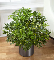 The FTD® Schefflera Arboricola by Lisa Dees flower delivery raleigh nc