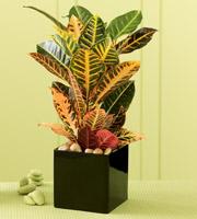 The FTD® Croton Plant