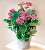 The FTD® Pink Kalanchoe