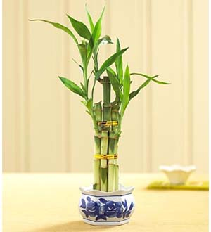 Lucky Bamboo by Lisa Dees florists in raleigh nc