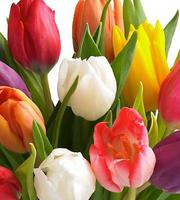 15 Stem Mixed Tulip Bouquet