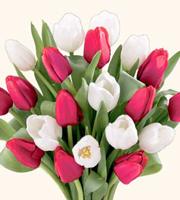 20 Stem Red & White Tulips