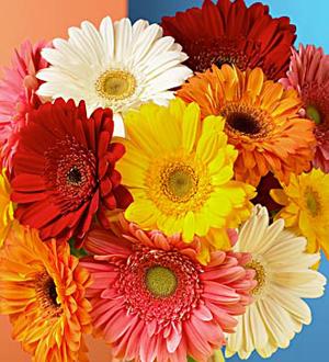Gerbera Daisy Bouquet Wrapped