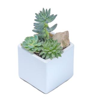 Mini Stunning Succulent