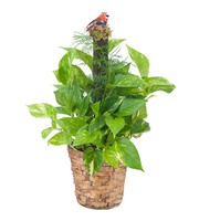 Pothos Plant on Pole