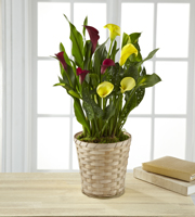 Color Inspirations Calla Lily - Better