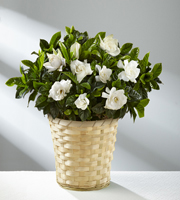 Nothing But Love Mother's Day Gardenia- Good