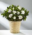 Garden's Grace Gardenia Plant - Good