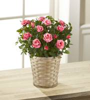 Just for Mom Mothers Day Mini Rose