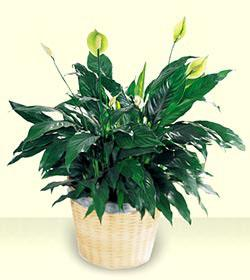 Order and send peace lily plants for same day delivery in the greater Grand Rapids, Holland, Rockford and Alto Michigan area with Sunnyslope Floral