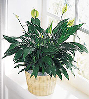 The FTD � Peace Lily Basket