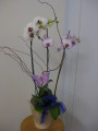 Three Spike Phalaenopisi Orchid Plant