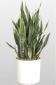 Sansevieria Plant-6