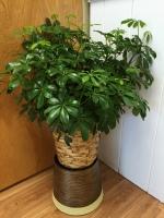GW-Arboricola plant