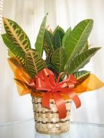 Crotan Plant