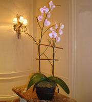 Double Stalk Phalaeonopsis Orchid