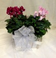 Winter Wishes Cyclamen Basket