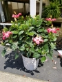 10 inch Hibiscus in Basket