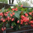 Dragonwing Begonia Hanging Basket- Red