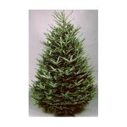 5 6 frasier fir - Fresh Christmas Greenery