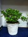 Jade Plant Medium
