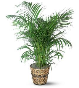 Palm Tree Med
