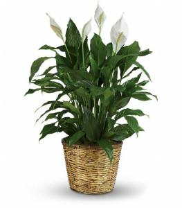 Peace Lily Plant Lg
