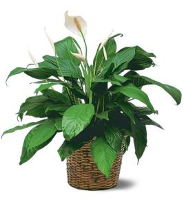 Peace Lily Plant Md
