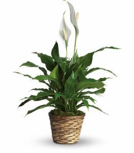 Peace Lily Plant Sm