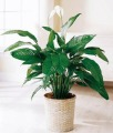 Spathiphyllum medium