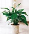 Spathiphyllum Large