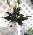 Mrs Flowers Praying Angel Peace Lily